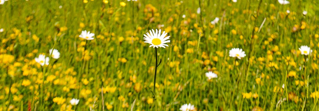 Garden design page banner of daisy in Meadow