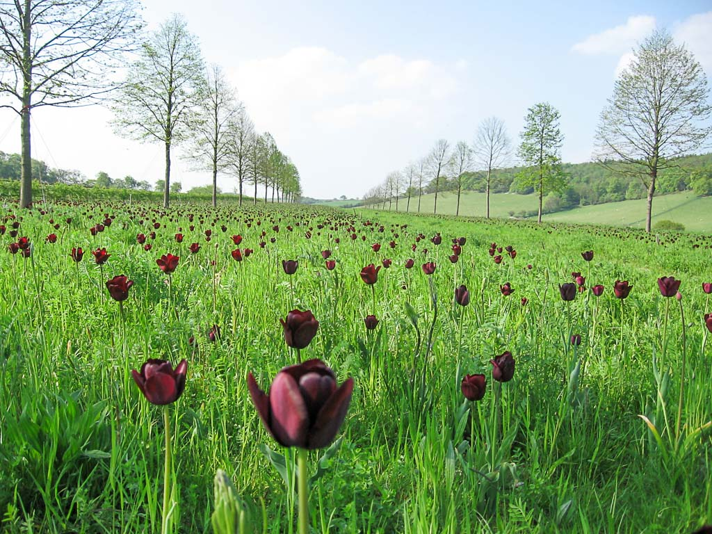 photograph of black tulips planted by gardening company Babylon Design Watlington Oxfordshire