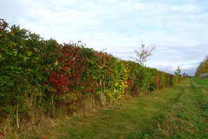 photo of a hedge planted by garden design company Babylon Design Watlington Oxfordshire